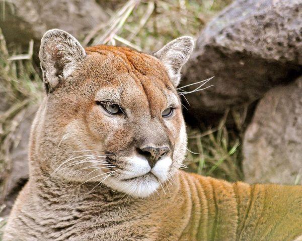 Mountain Lion Cougar Puma North American Lion Large Cat Predator Beautiful Nature Nature Dangerous Lion