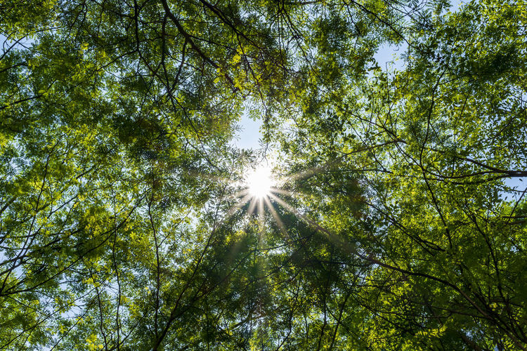 Low angle view of sunlight streaming through trees