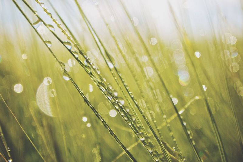 Water Drops On Grass Blades