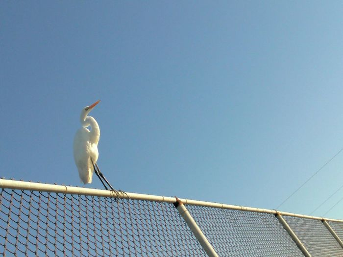 Low angle view of great egret perching on fence against sky