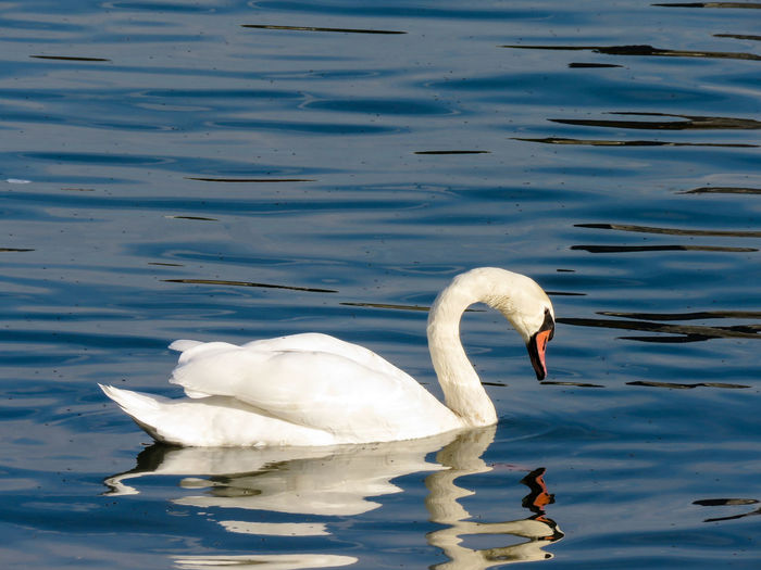 White swan in Sava river,Belgrade,Serbia. Animal Animal Themes Animal Wildlife Animals In The Wild Bird Floating On Water Nature No People Swan Swimming Vertebrate Water Water Bird Waterfront White Color Zoology