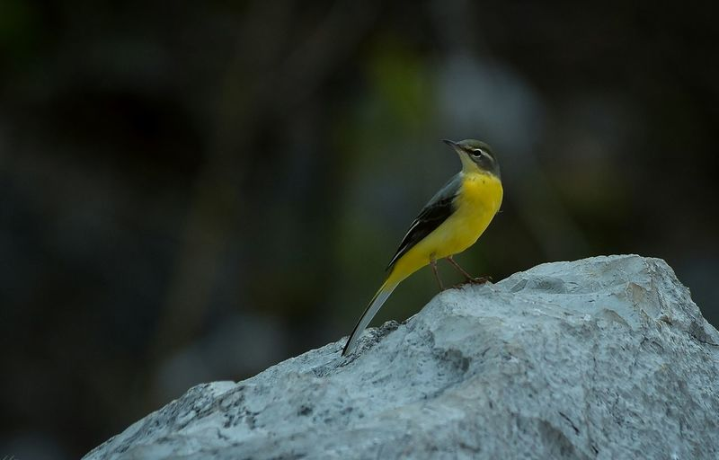 eastern yellow wagtail bird Eastern Yellow Wagtail Bird Photography Yellow Selective Focus Beauty In Nature Nature Close-up Rock - Object Solid Focus On Foreground Rock Bird Animals In The Wild Animal Wildlife