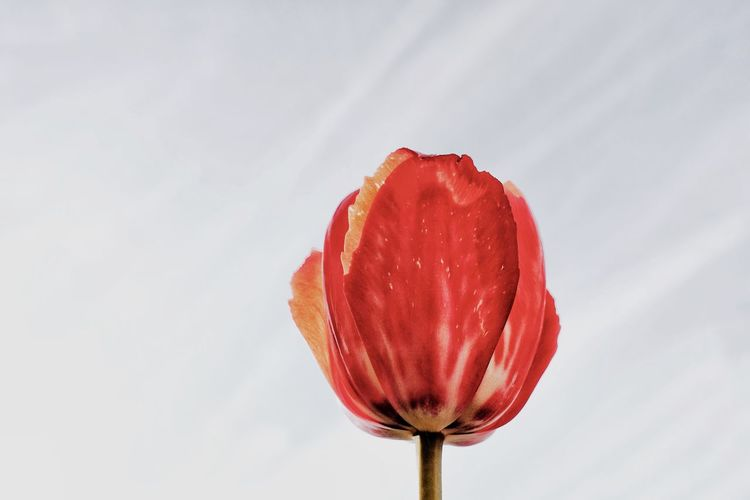 Low angle view of red tulip against wall