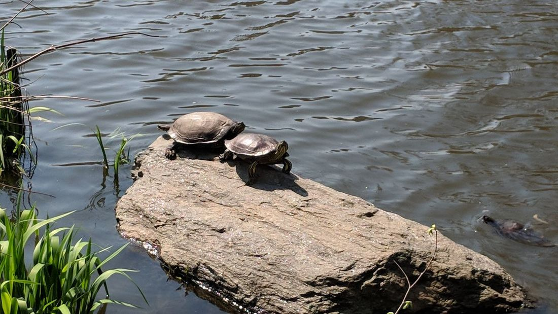 Turtles at Fairy Tail Pond in Central Park NY Turtle Fairy Tail Pond Central Park New York City New York Nature Wildlife Travel Travel Photography Good Times Followme Pixelxl2