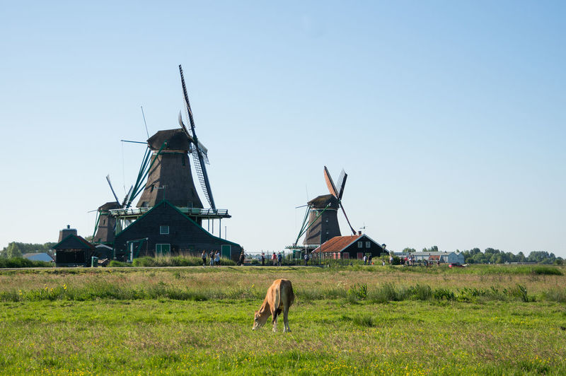 Nederland Zaanse Schans Alternative Energy Animal Themes Architecture Beauty In Nature Building Exterior Built Structure Clear Sky Day Domestic Animals Environmental Conservation Field Fuel And Power Generation Grass Holland Holland❤ Industrial Windmill Landscape Nature No People Outdoors Renewable Energy Rural Scene Sky Traditional Windmill Wind Power Wind Turbine Windmill