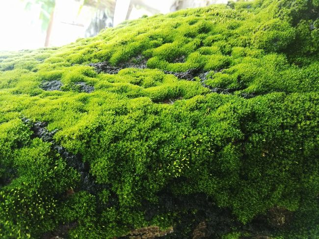 Hanging Out Taking Photos Check This Out Mossy Tree Moss Covered Tree Eye4photography  EyeEm Follow Me :) Eyeem Puerto Rico Samsung Galaxy S7 Eyeem Photography EyeEm Gallery Eyeemphotography Puerto Rico EyeEm Nature Lover Eyeem Moss Moss Close Up Plants 🌱 Lifeisbeautiful Plant Photography Moss Photography Green Plant Tree Trunk Colour Of Life