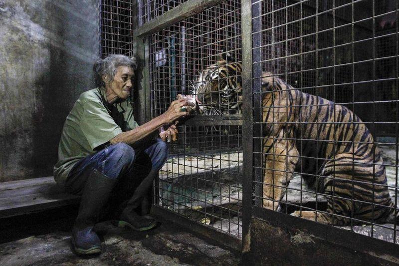 Woman feeding tiger at zoo