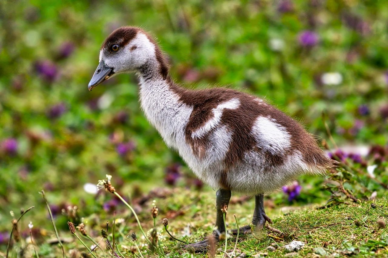 animal themes, animal, bird, animal wildlife, animals in the wild, vertebrate, young animal, young bird, one animal, gosling, goose, no people, plant, focus on foreground, nature, field, land, full length, day, close-up