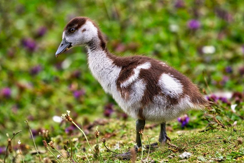 Egyptian Gosling Animal Animal Themes Animal Wildlife Animals In The Wild Bird Close-up Day Field Focus On Foreground Full Length Goose Gosling Land Nature No People One Animal Plant Vertebrate Young Animal Young Bird