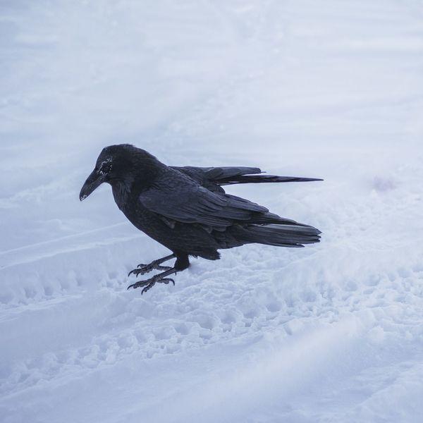 Snow Animal Wildlife One Animal Winter Animals In The Wild Cold Temperature Nature Bird Raven - Bird Animal Themes Shades Of Winter