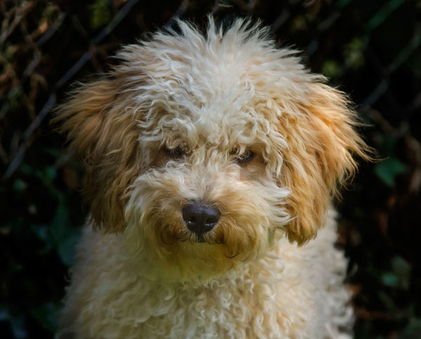 My Cavapoo puppy. Alertness Animal Animal Hair Animal Themes Brown Cute Dog Domestic Animals Fluffy Dog Home Interior Indoors  Looking At Camera Mammal One Animal Pets Portrait Puppy Relaxation Relaxing Softness Zoology Dog Groomer Dog Food Pet Portraits