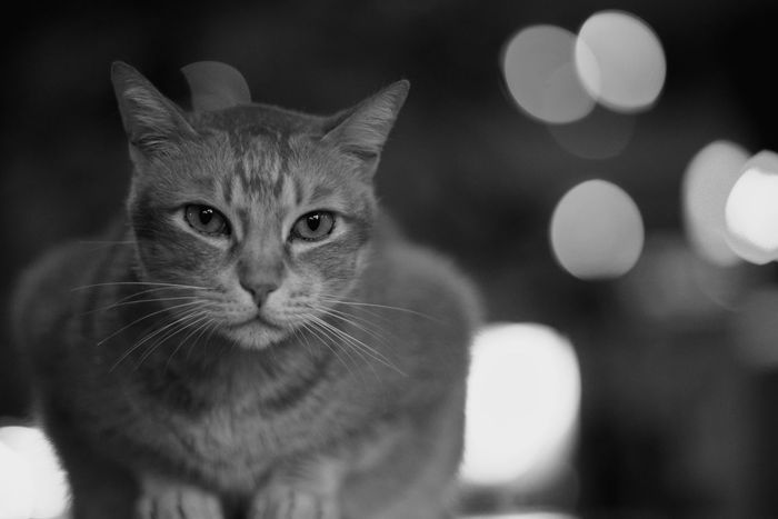 Pets One Animal Domestic Cat Black And White Hong Kong Close-up Sony Outdoors No People Animal Themes Tim Wong Konica