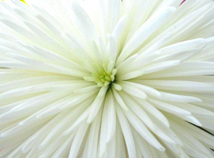 Full Frame Backgrounds Close-up No People Outdoors Nature Day Freshness White Flower WhiteCollection White Background White Color Whiteflower White And Green Nature White And Green White Texture Textured  Textures Texture Textures And Surfaces Textures In Nature Flower Macro Nature Flowertexture Copy Space