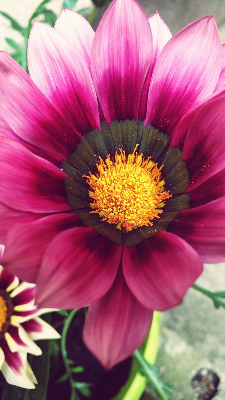 flower, petal, beauty in nature, fragility, flower head, freshness, nature, pink color, pollen, growth, close-up, no people, blooming, gazania, day, plant, outdoors, stamen, exoticism, springtime, passion flower