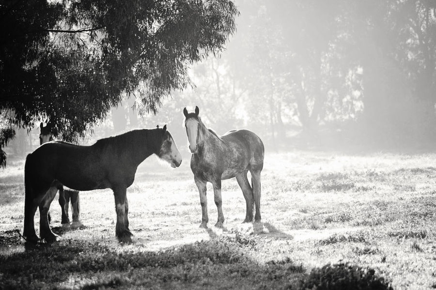 Clydesdale Clydesdale Horse Clydesdales  Fog Fog In The Trees Foggy Morning Grazing Grazing Horse Hairy Horses Heavy Horse Heavy Horses Horse Horse Life Horses Nature Percheron