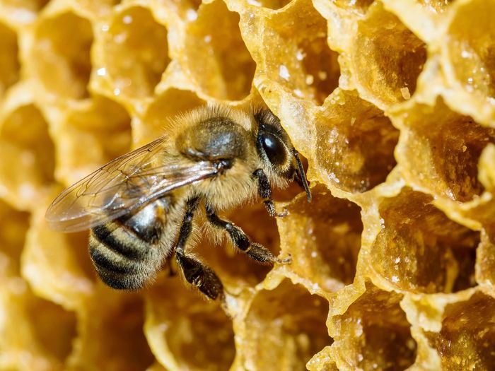 Bee, honeycomb. EyeEmSelect EyeEm Selects Bee 🐝 Bees Macro Insect Photography Macro Photography Bees And Flowers Victoria Australia Insect Close-up Honeycomb Beehive Honey Bee Bee Pollination APIculture Honey Hexagon