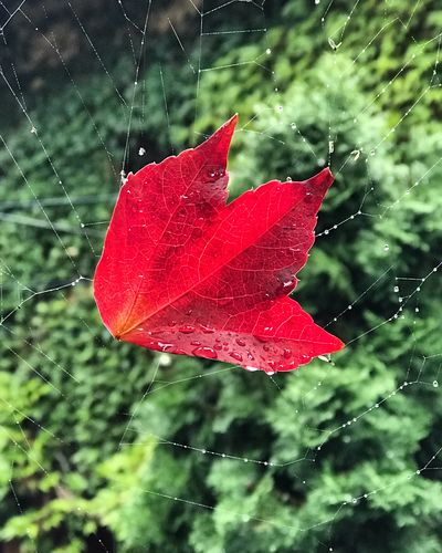 Red Fragility