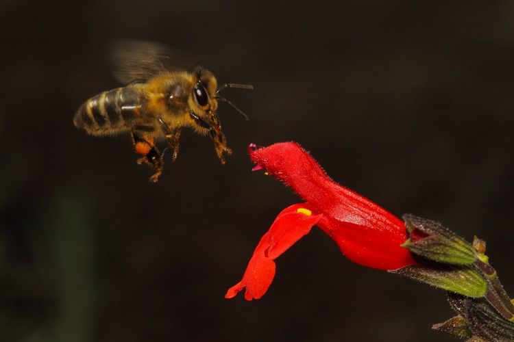 Bee Flower Bee Macro Nature Macro Photography Black Background Red Close-up Animal Themes Pollination Honey Bee