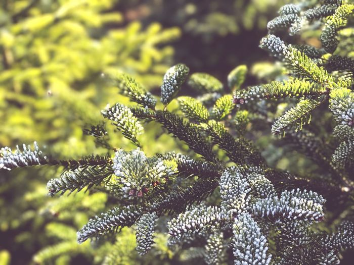 Nature Growth Beauty In Nature Plant Flower Close-up No People Green Color Outdoors Fragility Day Freshness Tree Winter Christmas Pain Tree