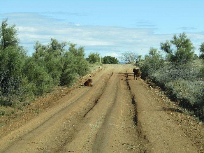 Dirt road along trees with calfs