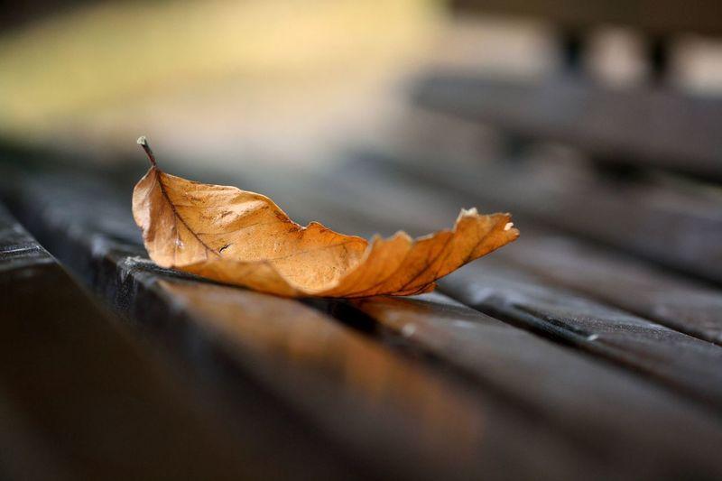 Close-up of dry maple leaf on wood
