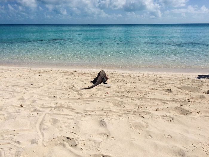 Beach Sand Sea Sky Water Horizon Over Water Nature Cloud - Sky Pets Outdoors Day Summer No People Wave Beauty In Nature Tourism Vacations Exuma Travel Destinations Iguana Animal Themes