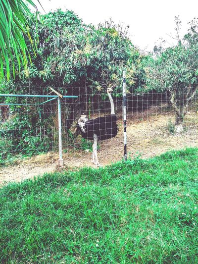 ostrich in the cage Balustrade Tahiland Mango Tree Bird Animal Ostrich Cage Coop Balust Banister Bars Railling Enclosure Jail Prison Cell Aviary Tree Grass Green Color