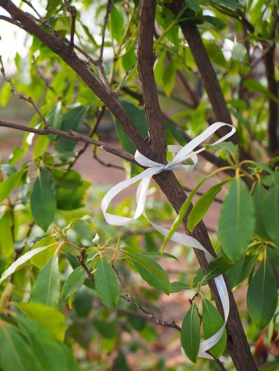 Plant Plant Part Leaf Green Color Growth Tree Branch Day Nature No People Focus On Foreground Beauty In Nature Outdoors Close-up Ribbon Bow Loop Band Present White Innocence Unexpected