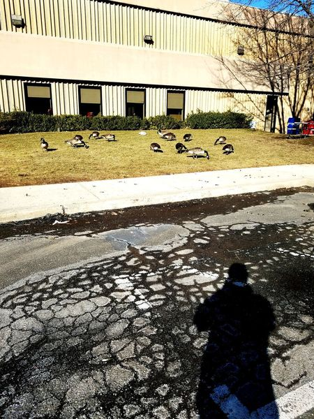 Geese Family Geese Photography Geese Buildings & Sky Office Cubicle Shadow Sunlight Men Silhouette Architecture Sky Parking Building Office Building Parking Lot