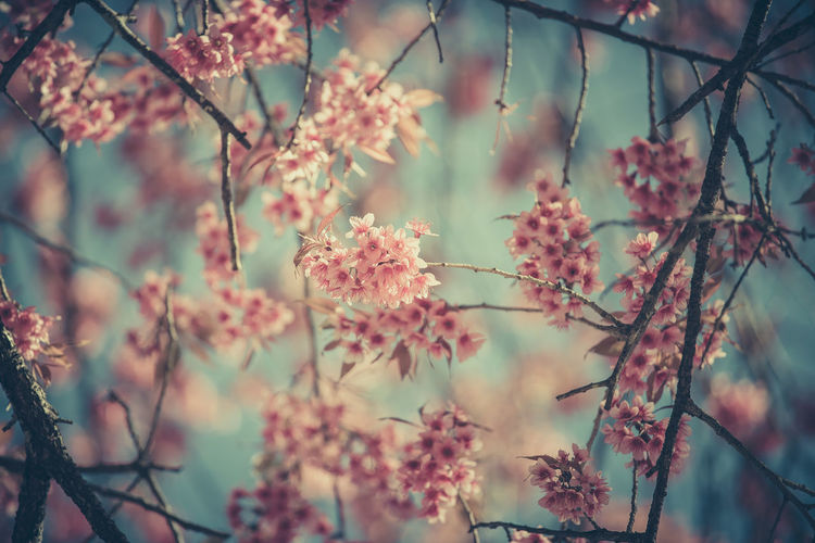 Cherry Blossoms Sakura Beauty In Nature Blossom Branch Close-up Day Flower Flower Head Fragility Freshness Growth Nature No People Outdoors Pink Color Plant Springtime Summer Tree