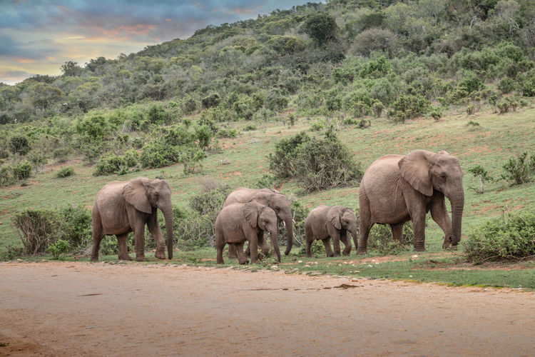 Elephant walking in a farm