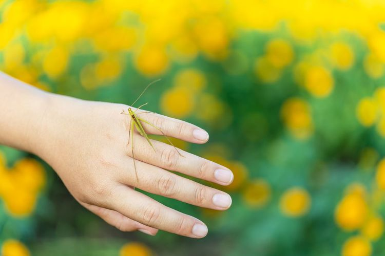 Close-up of insect on hand over marigold field