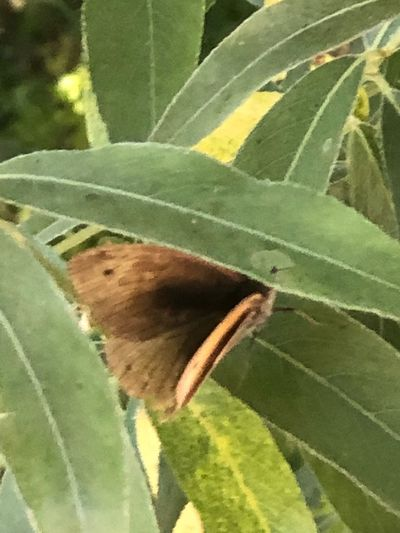 Butterfly 🦋 on leaf 🍃 🎈👻 Butterfly💓 Plant Part Leaf Plant Growth Green Color Nature Close-up Beauty In Nature No People Day Invertebrate Insect Sunlight Outdoors One Animal Natural Pattern Animal Animal Wildlife Freshness Animals In The Wild
