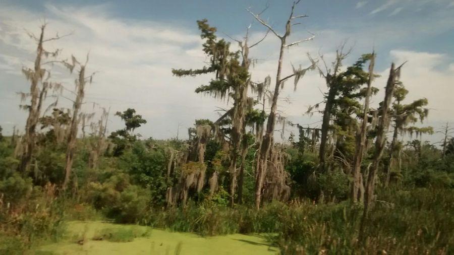 Louisiana Louisiana Swamp