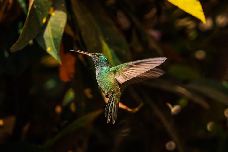 Close-up of bird flying hummingbird