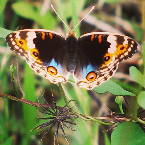 Mata-mata. Butterfly Kupukupu Macro_secrets Macro_champ macroworld_ macrophotography macro closeup