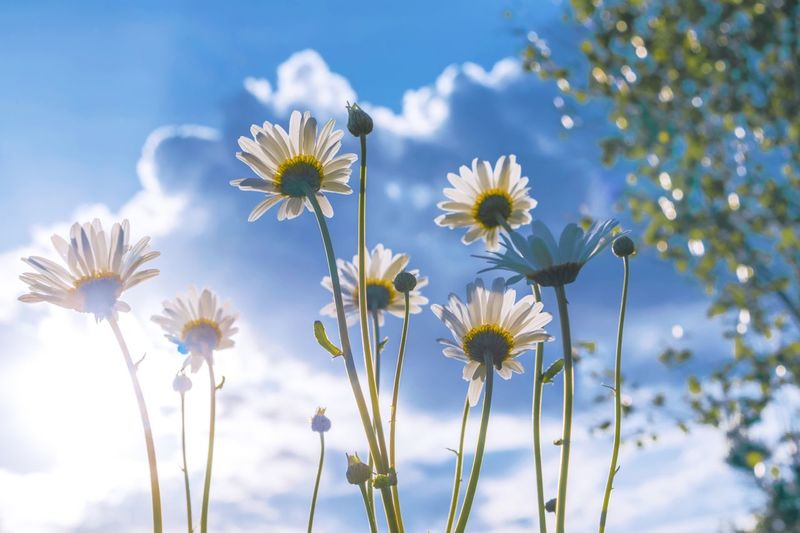Flower Nature Beauty In Nature Fragility Growth Freshness Petal Blooming No People Springtime Sky Outdoors Flower Head Sunlight Close-up Blossom Day Plant Low Angle View Cosmos Flower