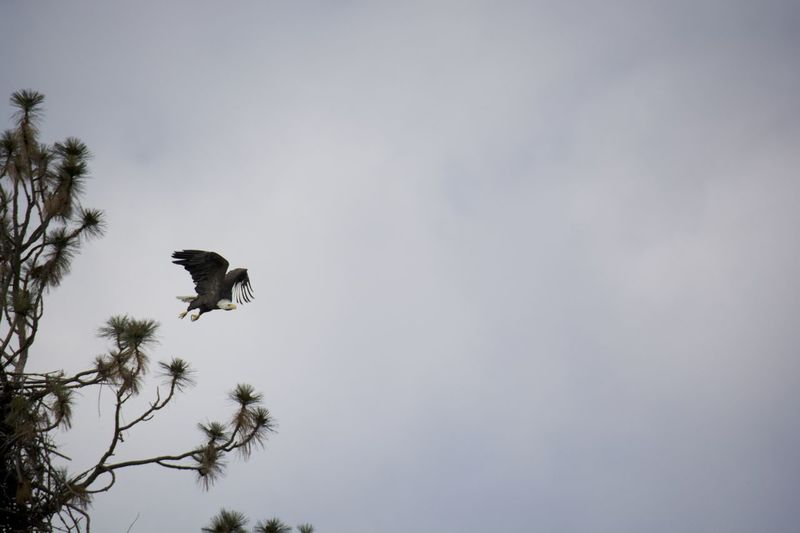 Bald Eagle Cloud - Sky Cloudy Copy Space Low Angle View Nature No People Outdoors Sky Spread Wings Bald