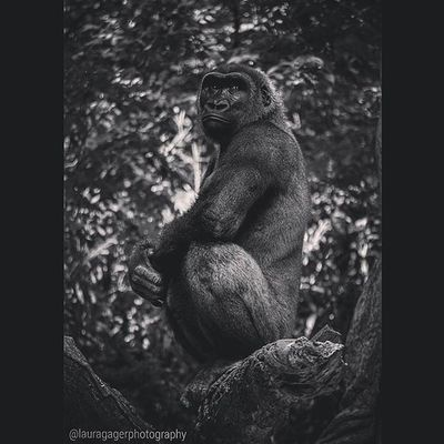 another :) Gorilla Ape Bronxzoo AspiringPhotographer Photographer Photography Nikon Nikontop Nikonphotography Nikon_photography Nikonshots Animals Beautiful Nature