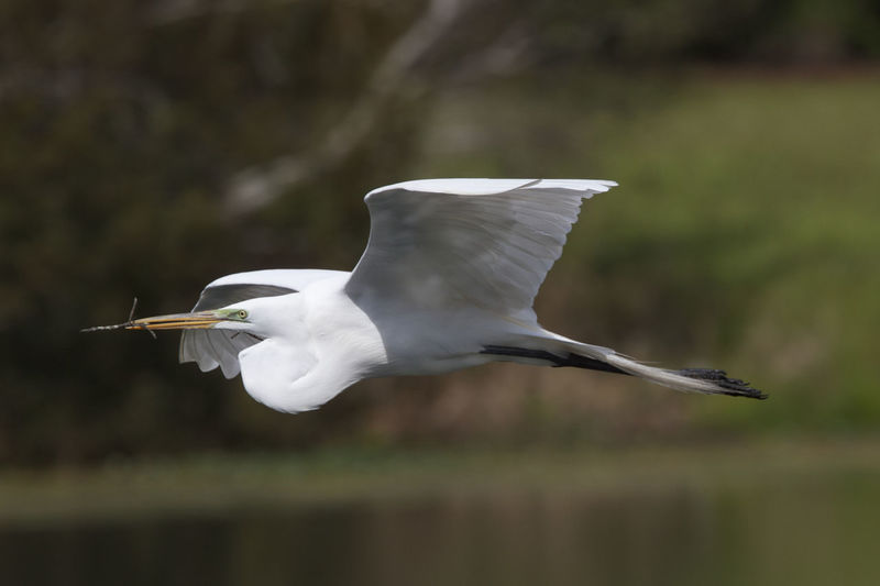 Close-Up Of A Great Egret Flying