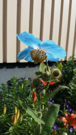 blå bergvallmo Garden Bergvallmo Vallmo Blå Vallmo Meconopsis Betonicifolia EyeEm Selects Flower Close-up Plant