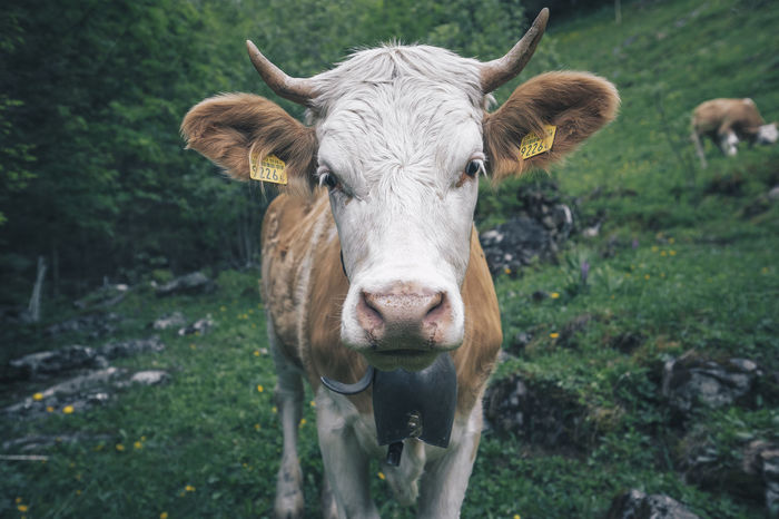 Cow portrait on a hike to a waterfall. Cow Head Animal Animal Head  Animal Portrait Animal Themes Cattle Cow Cow Portrait Day Domestic Domestic Animals Domestic Cattle Focus On Foreground Land Livestock Looking At Camera Mammal Nature No People One Animal Outdoors Pets Plant Portrait Vertebrate