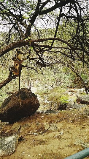 Animals In The Wild Outdoors Mammal Nature Tree Khejri Sirohi Rajasthan Rajasthandiaries Monkey Wildlife India Branches Densebranches Myyearmyview