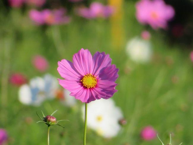 Flower 秋の花 コスモス 秋桜 Cosmos Flower Cosmos 花