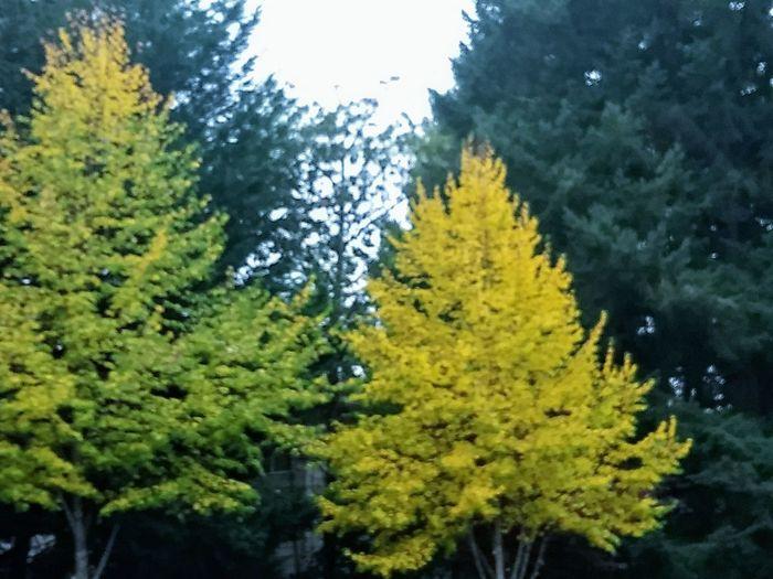 Yellows Tree