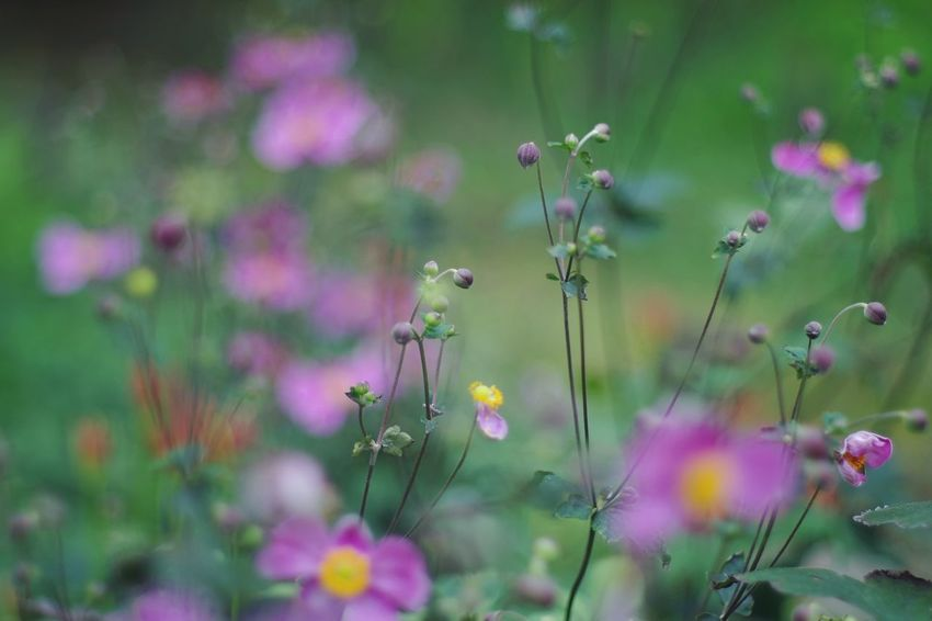 Flower Fragility Freshness Growth Springtime Stem Beauty In Nature Selective Focus Close-up In Bloom Plant Petal Nature Blossom Focus On Foreground Botany Flower Head Pink Color Day Vibrant Color 秋明菊 蕾