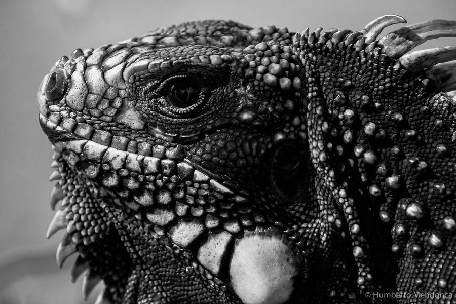 Animal Body Part Animal Head  Animal Markings Animal Scale Animal Themes Beauty In Nature Close-up Iguana Nature No People Wildlife