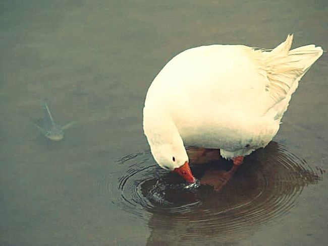 Ganso Peixe Agua Natureza