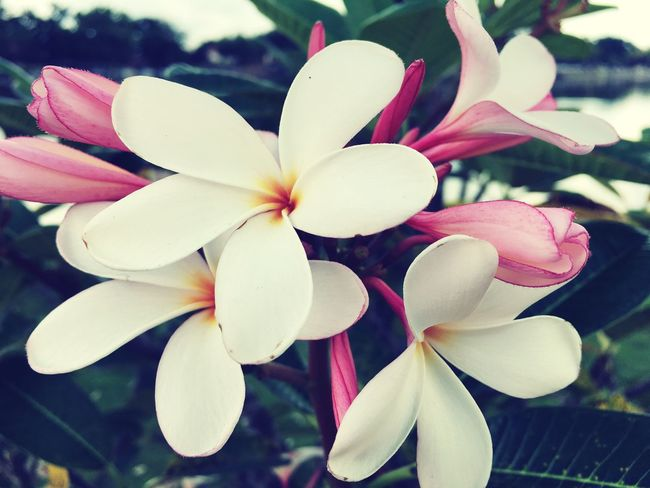 Flower Fragility Petal Beauty In Nature Nature Flower Head Growth Freshness Close-up Blooming Day No People Plant Outdoors Frangipani
