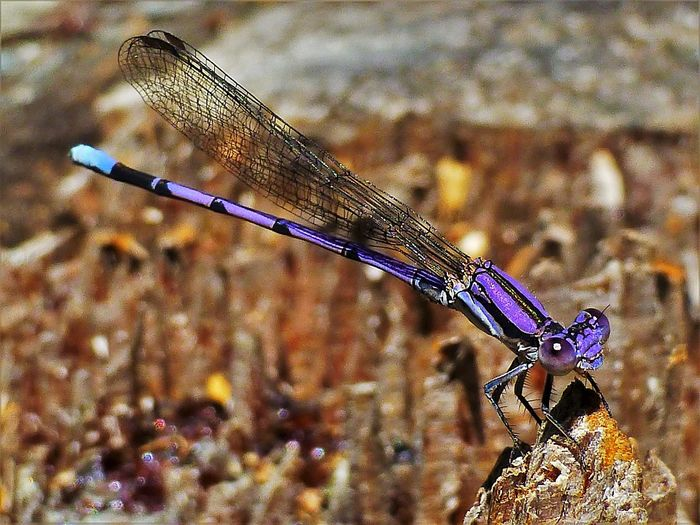 EyeEm Selects Animal Themes Animal Wildlife Invertebrate One Animal Animal Animals In The Wild Insect Nature Close-up Focus On Foreground Damselfly Outdoors Dragonfly